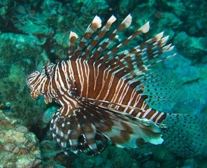 Rode koraalduivel