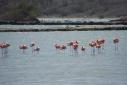 Curaçaose+flamingo's