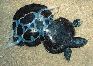Schildpad afval