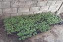 wietplanten1